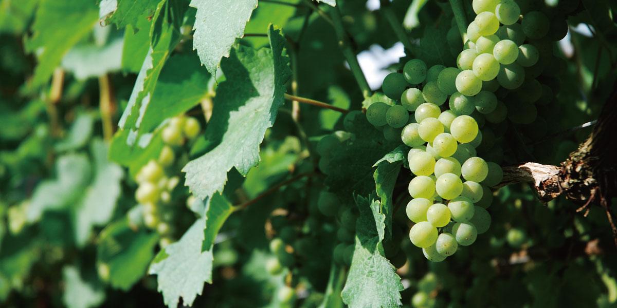 ピノ・ブラン (Pinot Blanc)の魅力
