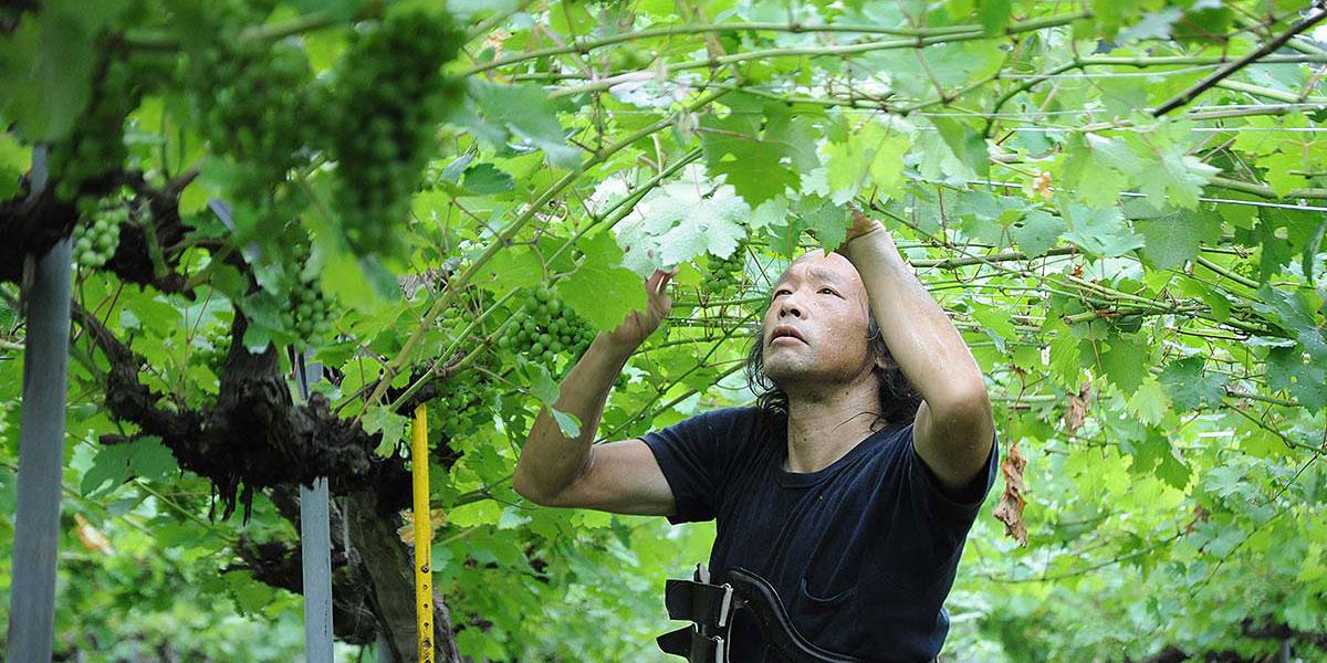 葡萄生産者(福岡 裕和さん)